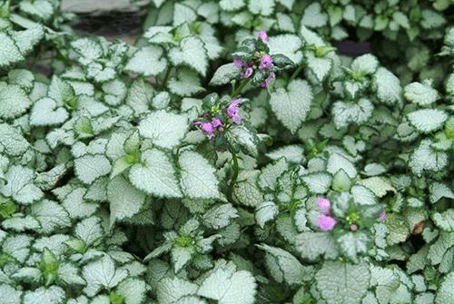 Яснотка крапчатая — растение для затененного балкона